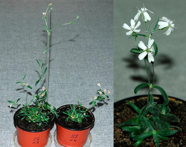 Silene stenophylla самое древний живой организм на земле