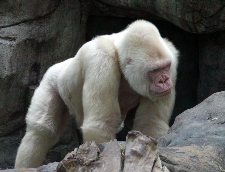 Горилла альбинос