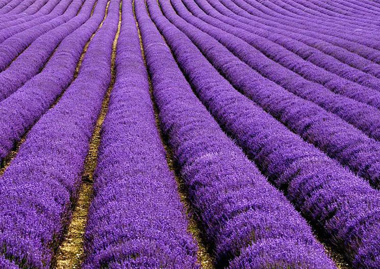 Лавандовые поля во Франция