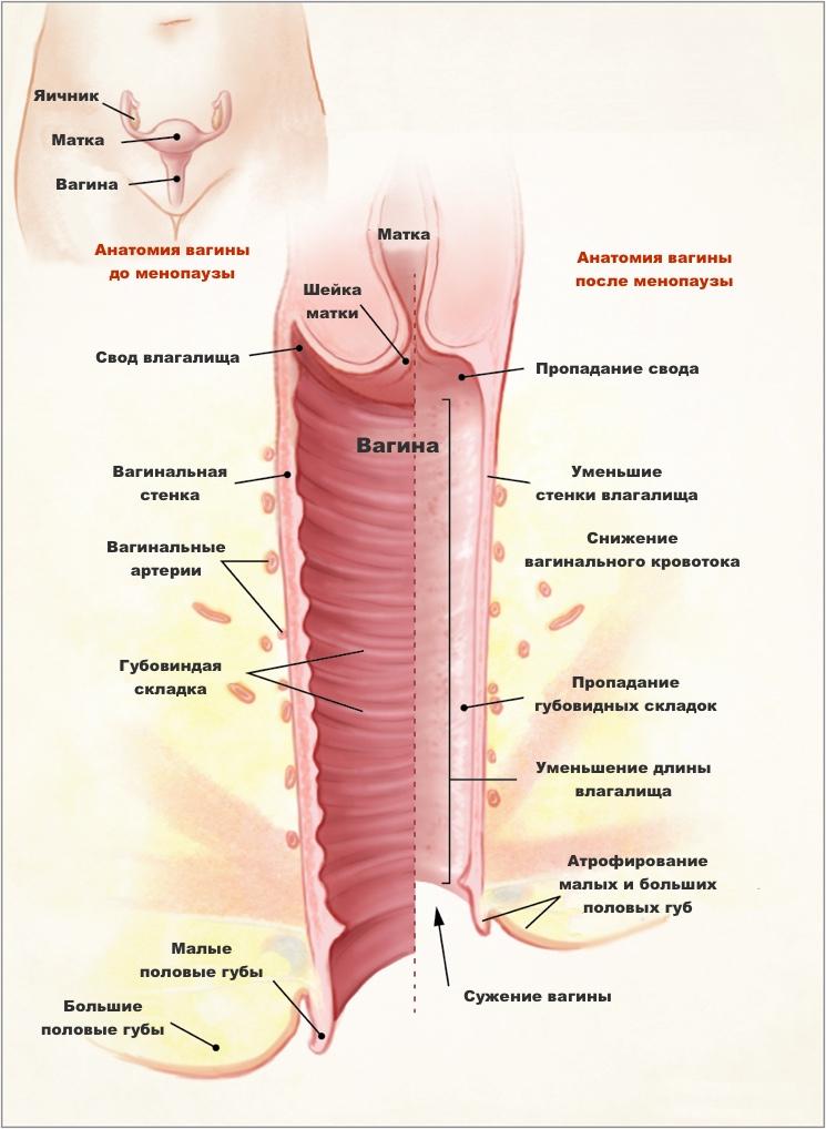 Анатомия вагины до и после менопаузы