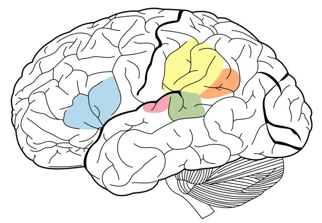 Области мозга отвечающие за языковые навыки