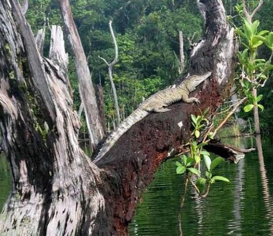 Крокодил греется забравшись на страрое дерево