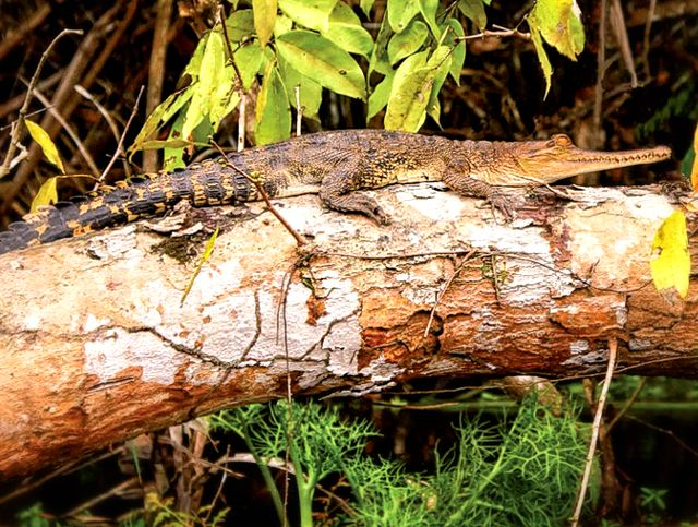 Индийский крокодил на дереве