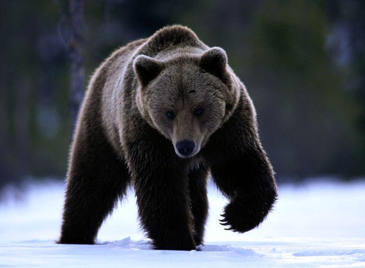 Медведь - одно из самых опасных животных