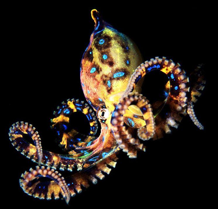 Синекольчатые осьминоги - Hapalochlaena lunulata