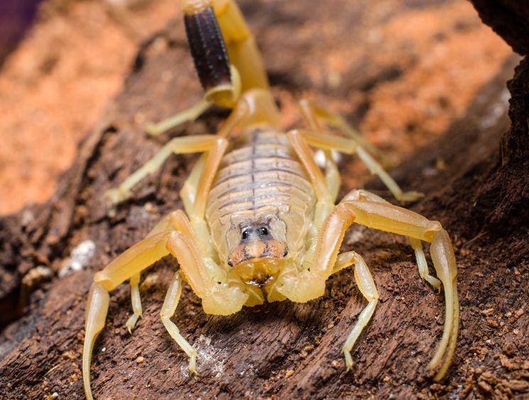 Самый ядовитый скорпион Leiurus quinquestriatus