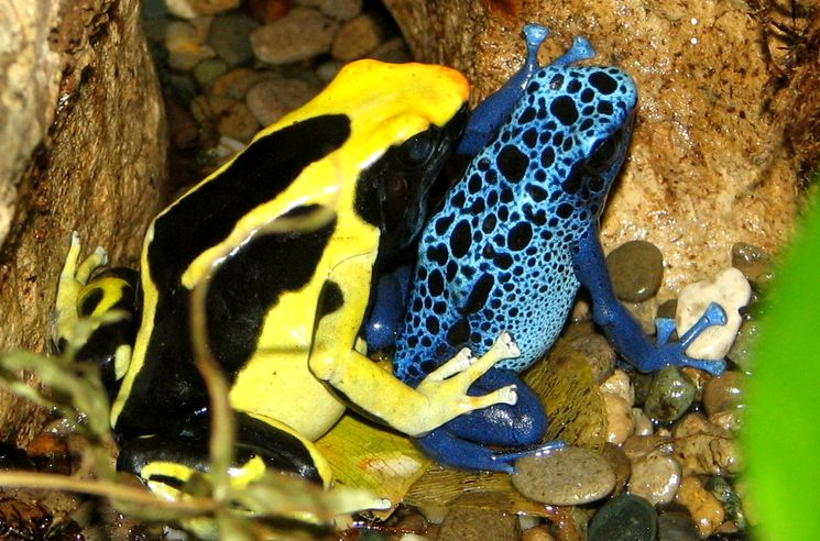 Самая ядовитая лягушка на планете - Пятнистый древолаз