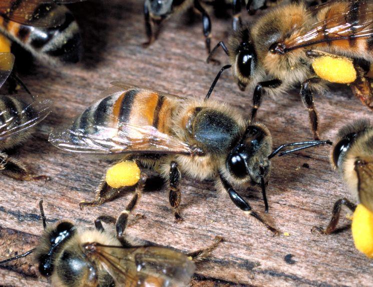Африканизированная пчела (Apis mellifera scutellata)
