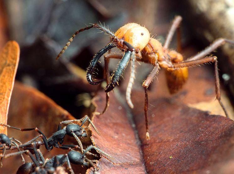 Кочевой или Армейский муравей (Eciton burchellii)