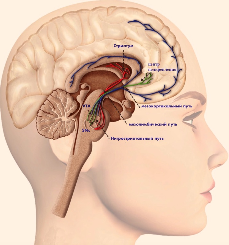 Исследования выделение дофамина