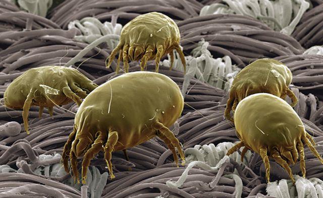 Стадо микроскопических клещей на выпасе