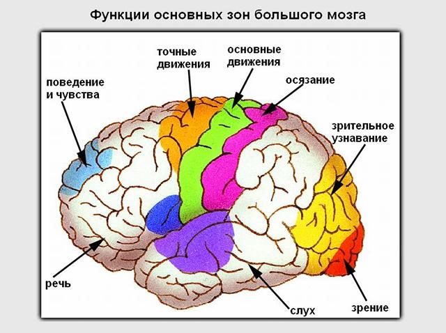 Функции зон большого мозга