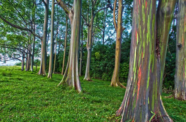 Радужный эвкалипт - родина Филиппины