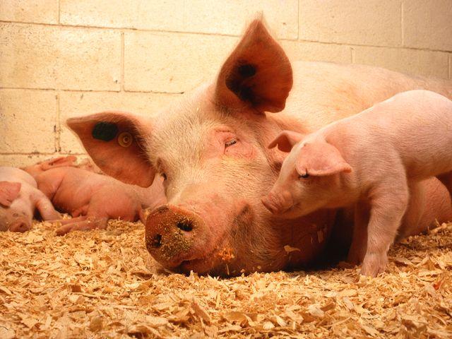Ферма по выращиванию свиней