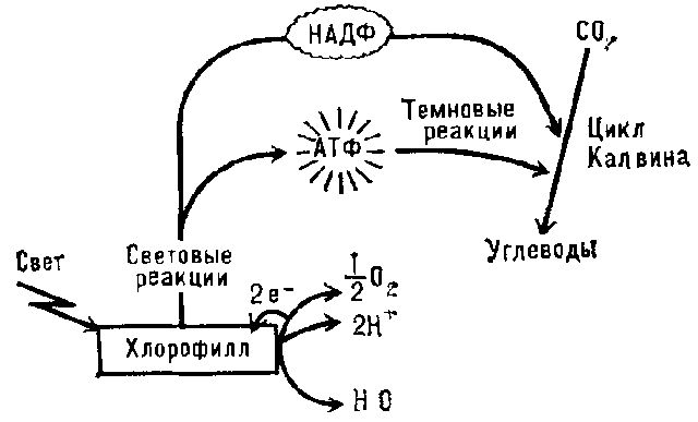 принцип фотосинтеза
