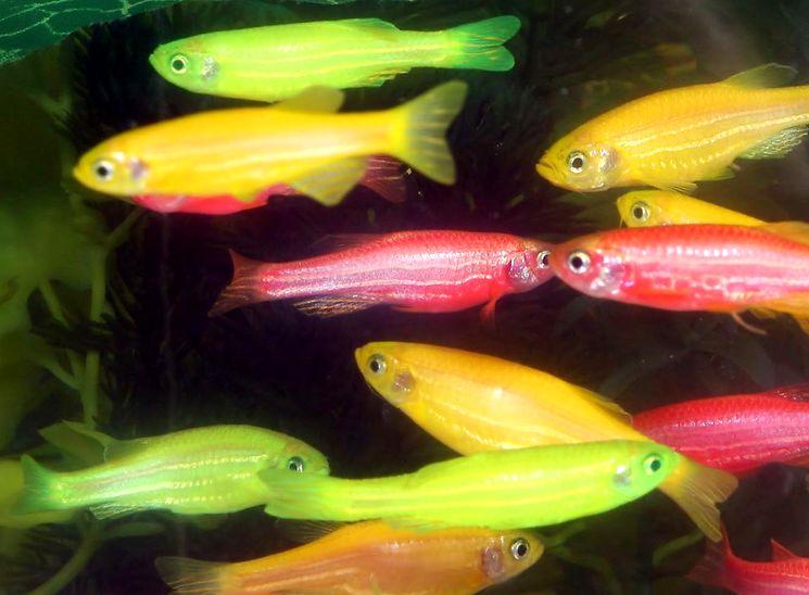 GloFish - генетически модифицированные флуоресцирующие рыбки