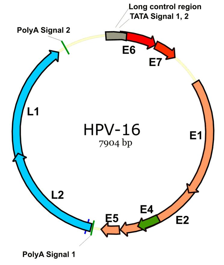 Геном вируса папилломы человека