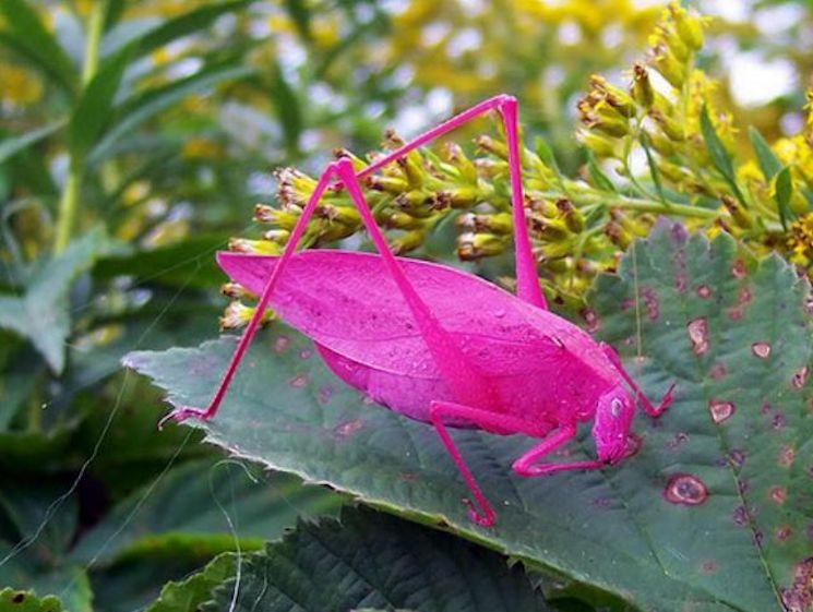 Кузнечик пигментированный в розовый цвет