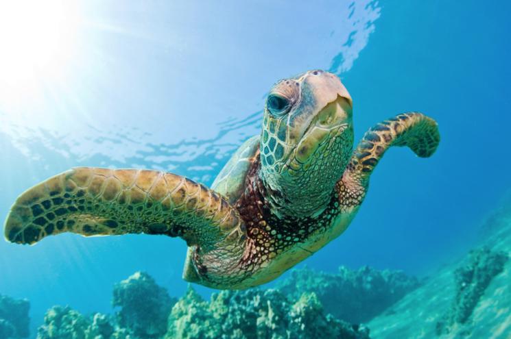 черепахи острова Монурики