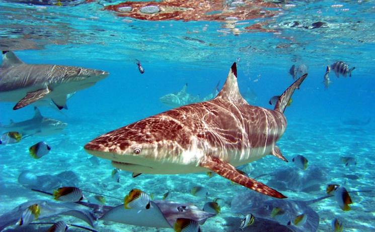 акулы острова Монурики