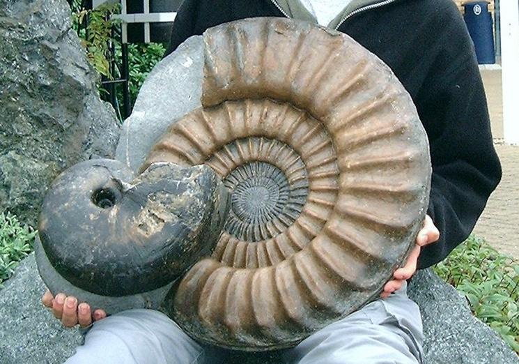 naydennaya-v-more-rakushka-ammonita.jpg