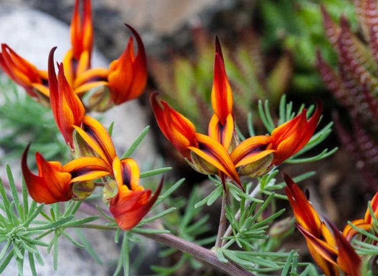 Необычные цветки Клиантус (Clianthus)
