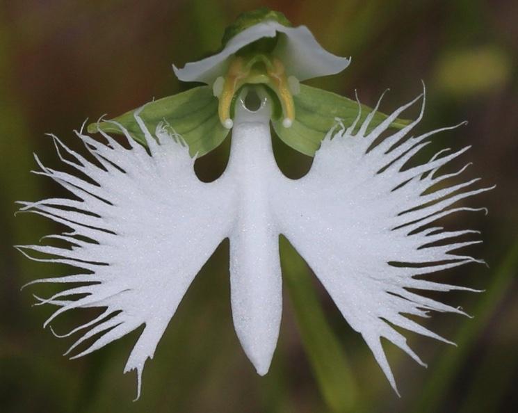 Орхидея Большая белая цапля (Habenaria Radiata)