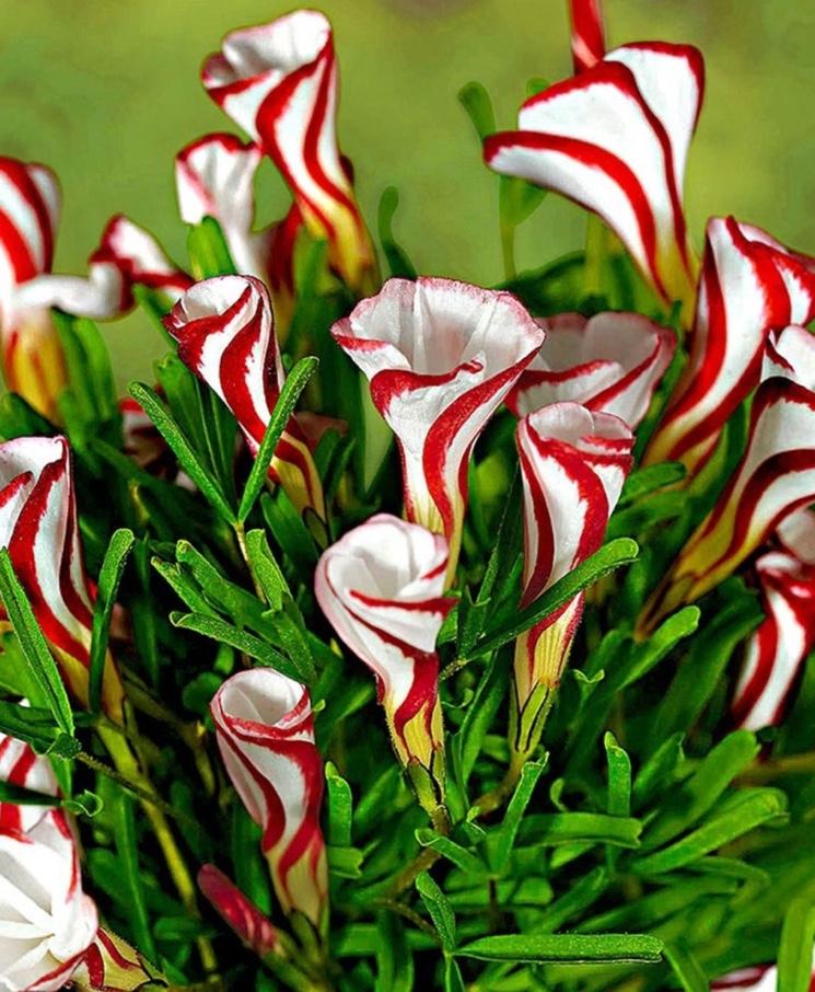 Кислица пестроцветная (Oxalis tetraphylla)