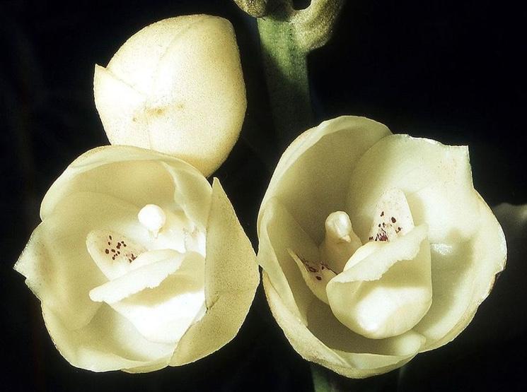 Необычная орхидея Голубь (Peristeria Elata)