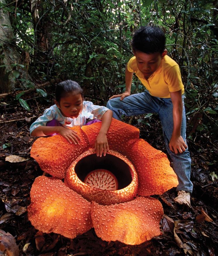 Необычный цветок Раффлезия (Rafflesia arnoldii)
