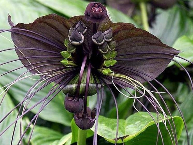 Один из самых необычных цветов - Такка Шантрье (Tacca chantrieri)