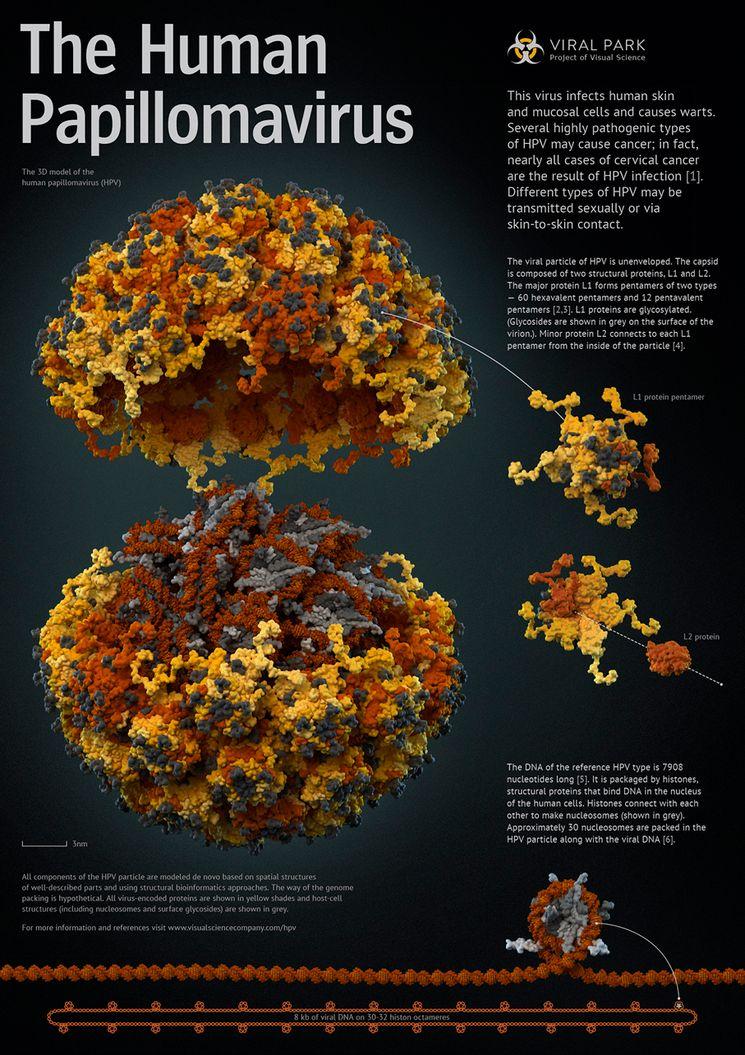 Структура вируса папилломы человека в 3D