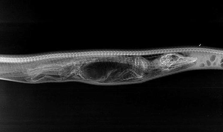 День 2 - крокодил начинает переваривается в желудке питона