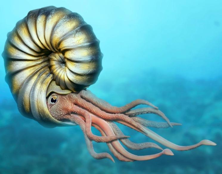 risunok-vymershego-ammonita.jpg