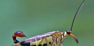 Самец скорпионовой мухи