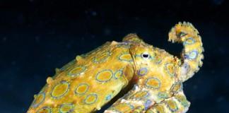 Синекольчатый осьминог - ядовитый моллюск