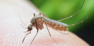 Связь укуса комара с запахом человека