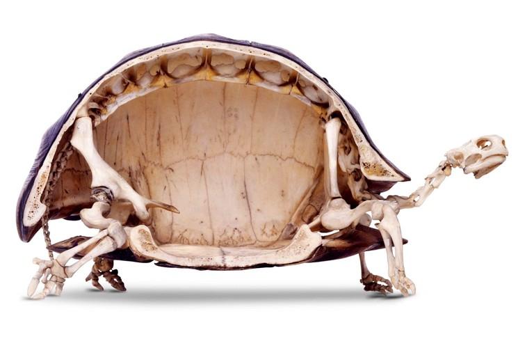 Скелет черепахи в разрезе