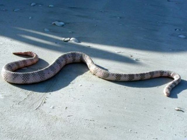 Ядовитая морская змея Дюбуа