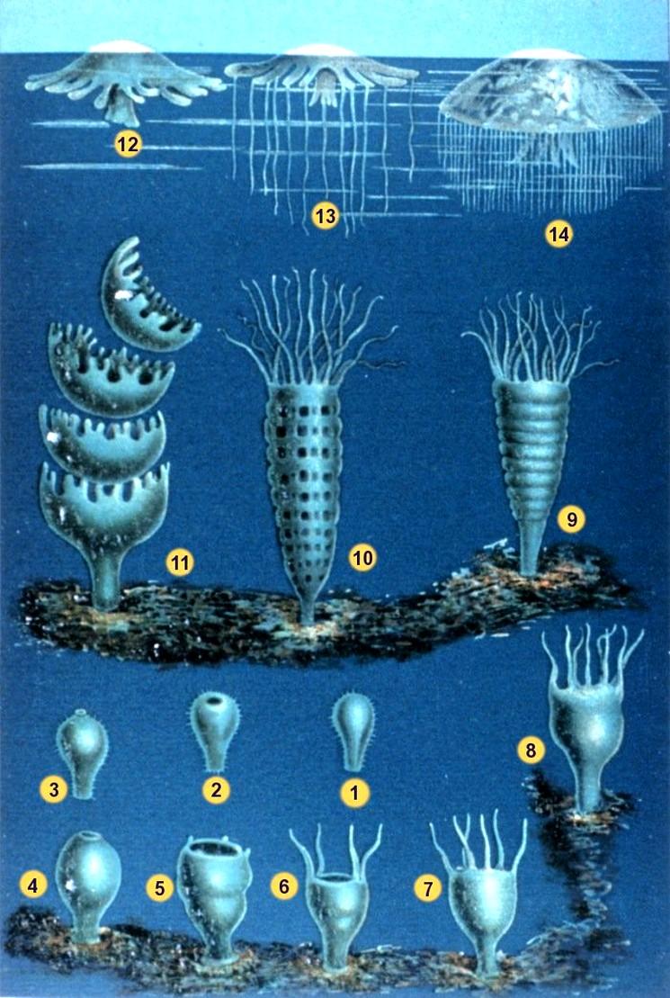 Жизненный цикл медуз