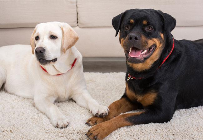 Что нужно домашним собакам?