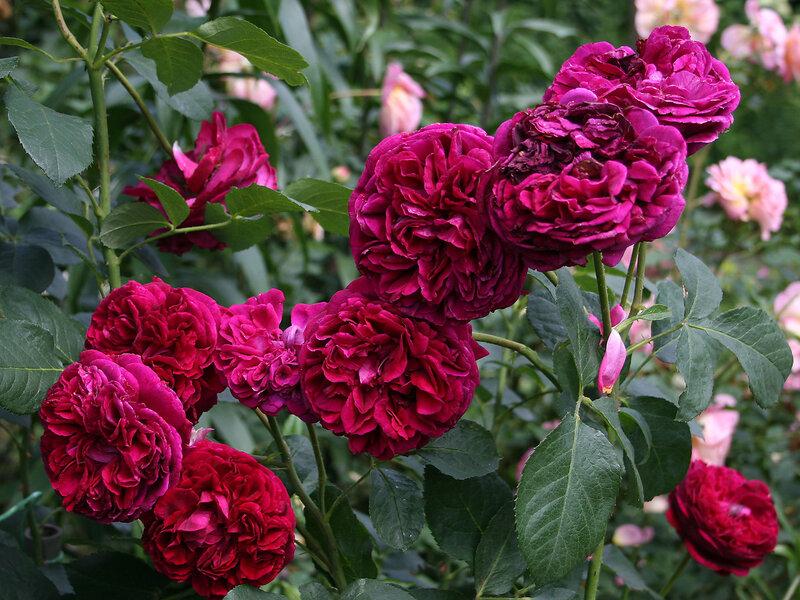 Роза Фальстав – правильная посадка залог красивых цветов