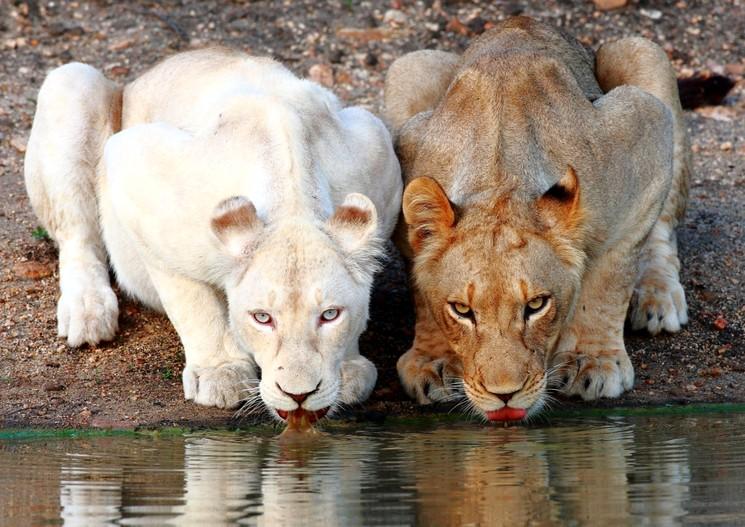 Львица альбинос пьет воду