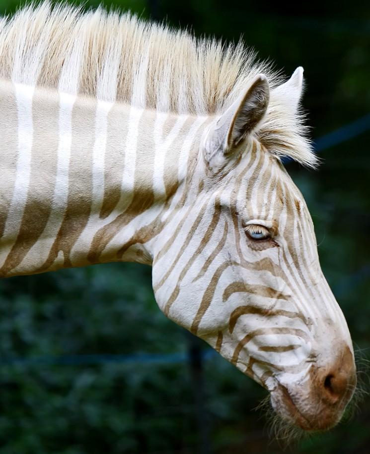 Зебра альбинос