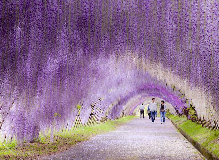 Япония, сказочный тоннель из глициний