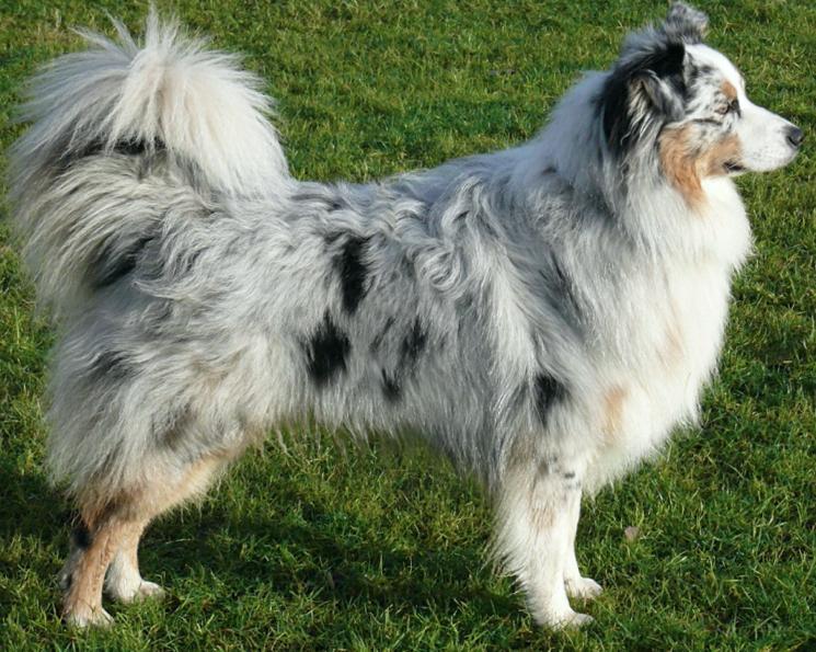 Порода собак Австралийская овчарка