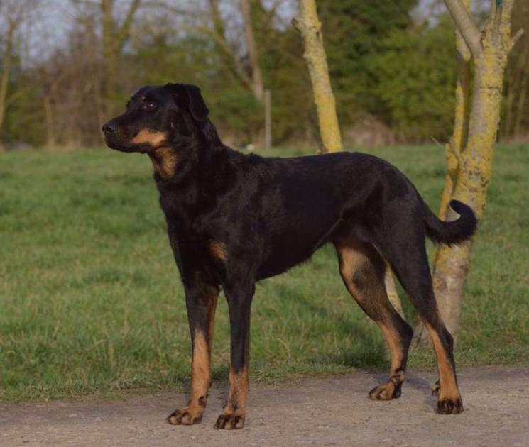 Порода собак Босерон