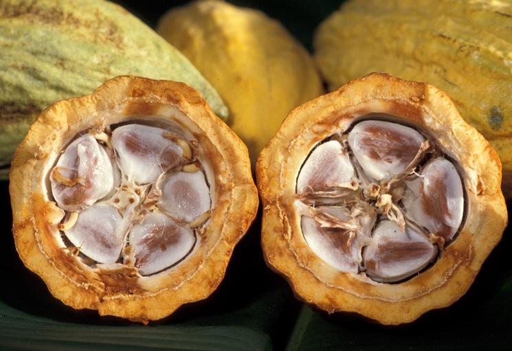 Плод какао-дерева в разрезе