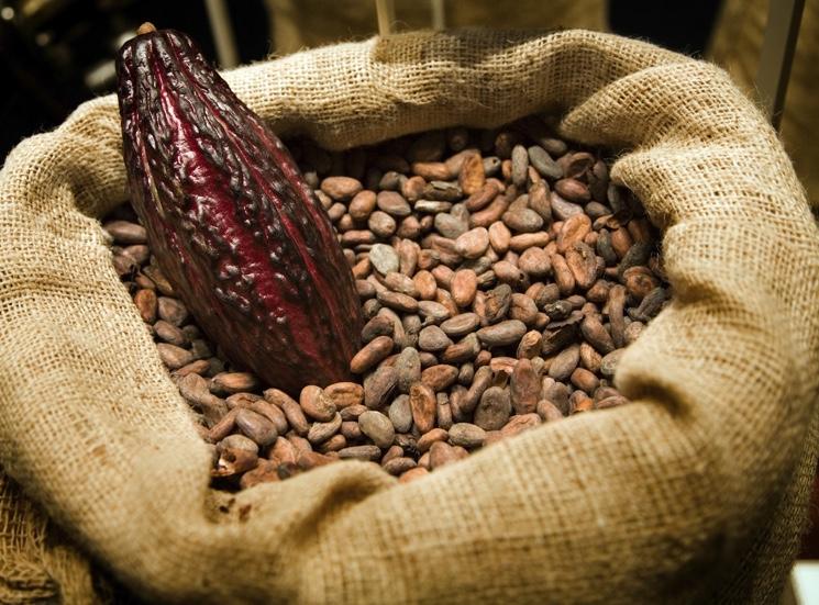 Какао бобы улучшают память человека