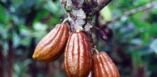 Какао улучшает работу мозга и память